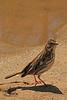 A Savannah Sparrow taken May 9, 2011 at Barr Lake State Park near Denver, CO.
