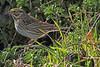 A Savannah Sparrow taken Apr 22, 2010 near Bridgeville, CA.