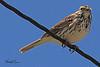 A Savannah Sparrow taken May 2, 2011 near Fruita, CO.