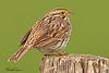 A Savannah Sparrow taken May 26, 2010 near Bozeman, MT.