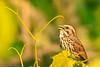 A Savannah Sparrow taken June 12, 2011 near Bridgeville, CA.
