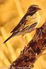 A Savannah Sparrow taken Feb. 23, 2012 near Elfreida, AZ.
