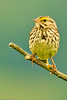 A Savannah Sparrow taken Jun 11, 2011 near Fortuna, CA.