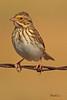 A Savannah Sparrow taken Oct 4, 2010 near Fort Sumner, NM.