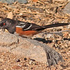 A Spotted Towhee taken Feb 15, 2010 in Madera Canyon, AZ.
