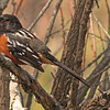 A Spotted Towhee taken May 18, 2010 near Fruita, CO.
