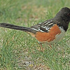 A Spotted Towhee taken May 9, 2011 near Denver, CO.