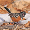 Spotted Towhee taken in Fruita, CO on 13 Jan 2010.