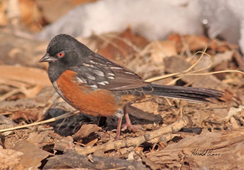 Spotted Towhee taken in Fruita, CO on 13 Jan 2010.