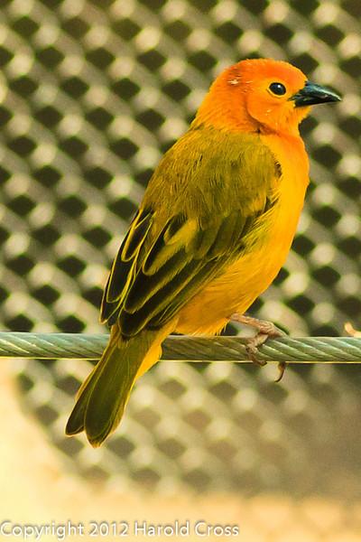 A Taveta Golden Weaver taken Feb. 25, 2012 in Tucson, AZ.