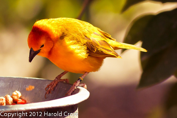 A Taveta Golden Weaver taken Feb. 20, 2012 in Tucson, AZ.