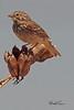 A Vesper Sparrow taken May 15, 2011 near Portales, NM.