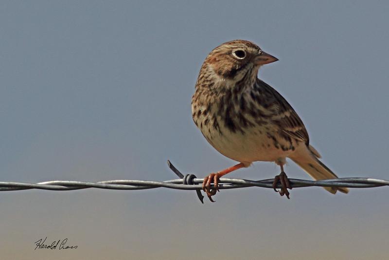 A Vesper Sparrow taken Oct. 2, 2010 near Muleshoe,  TX.