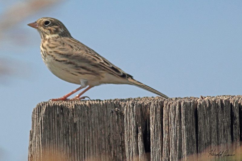 A Vesper Sparrow taken Oct. 2, 2010 near Muleshoe,  TX.