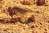 A Vesper Sparrow taken Oct. 31, 2011 near Arch, NM.