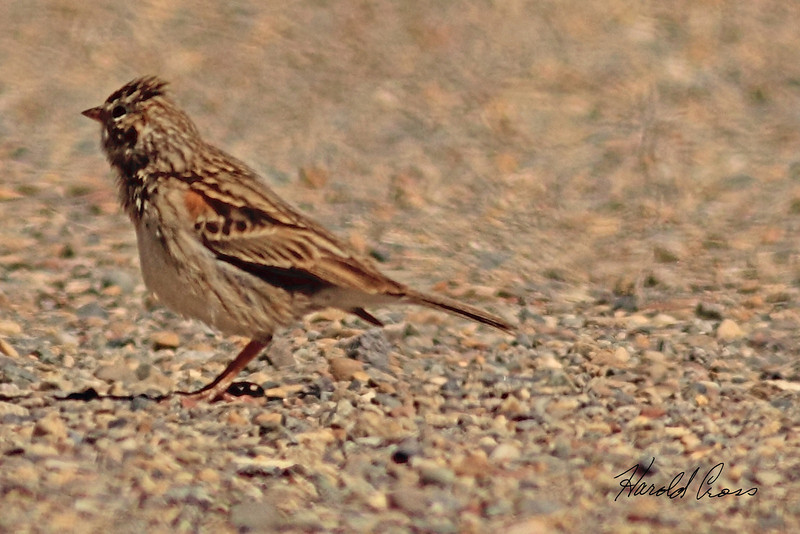 A Vesper Sparrow taken April 28, 2011 near Fruita, CO.
