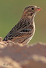 A Vesper Sparrow taken Oct. 1, 2010 near Portales, NM.