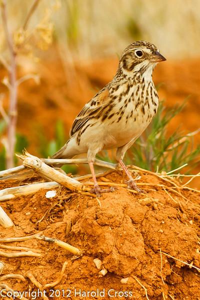A Vesper Sparrow taken April 29, 2012 near Portales, NM.