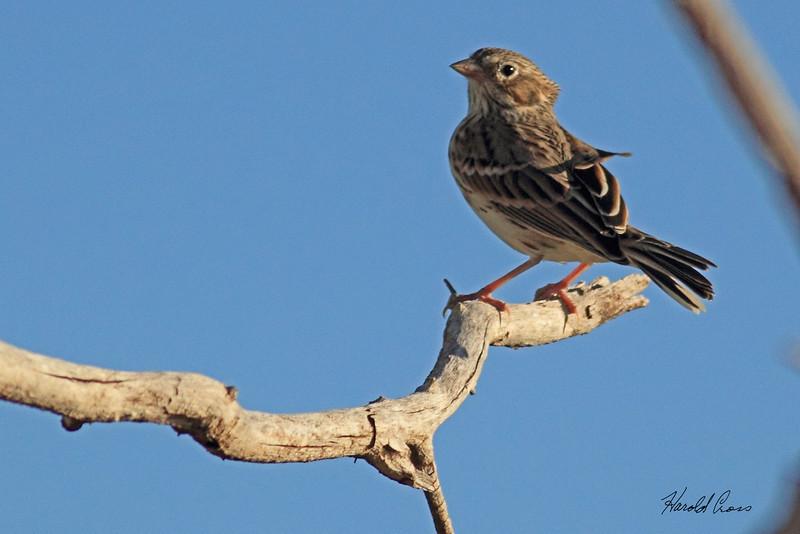A Vesper Sparrow taken Oct. 1, 2010 near Portales, NM.