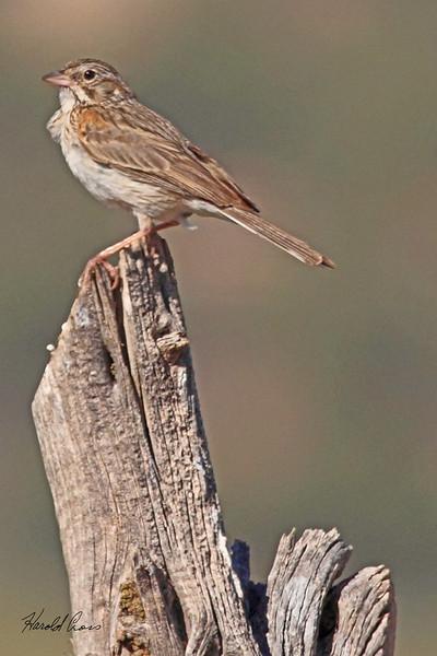 A Vesper Sparrow taken Jun 14, 2010 near Fruita, CO.
