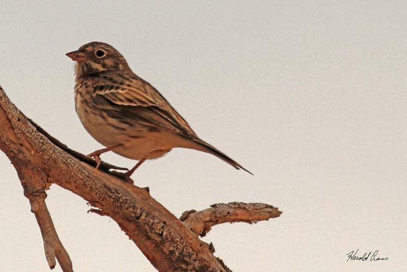 A Vesper Sparrow taken Oct 2, 2010 near Portales, NM.
