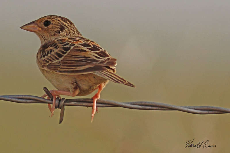 A Vesper Sparrow taken July 24, 2010 near Portales, NM.