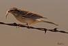 A Vesper Sparrow taken Oct. 3, 2010 near Portales, NM.
