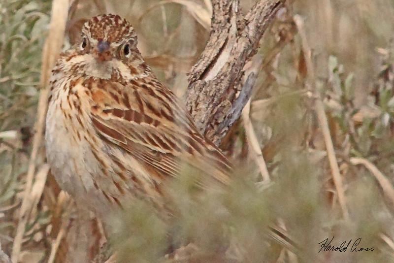 A Vesper Sparrow taken May 29, 2010 near West Yellowstone, MT.
