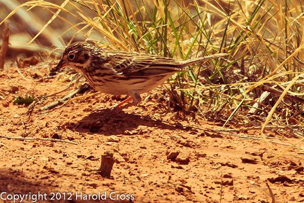 A Vesper Sparrow taken April 28, 2012 near Portales, NM.