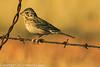 A Vesper Sparrow taken Feb. 23, 2012 near Elfreida, AZ.