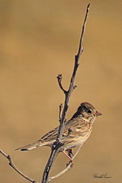 A Vesper Sparrow taken Oct 4, 2010 near Fort Sumner, NM.