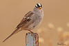 A White-crowned Sparrow taken Mar 24, 2010 near Fruita, CO.