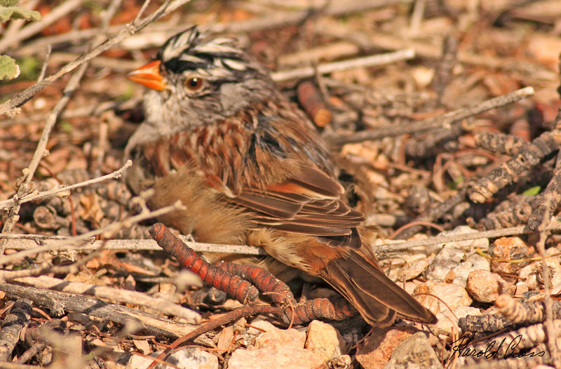 A White-crowned Sparrow taken Feb 10, 2010 in Gilbert, AZ.