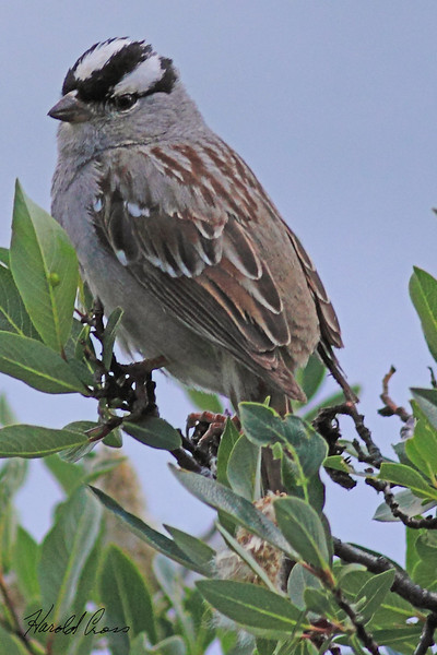 A White-crowned Sparrow taken July 12, 2010  near Grand Mesa, CO.