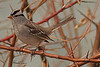 A White Crowned Sparrow taken Mar. 14, 2011 in Grand Junction, CO.