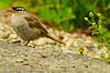 A White-crowned Sparrow taken Aug. 25, 2001 near Grand Mesa, CO.