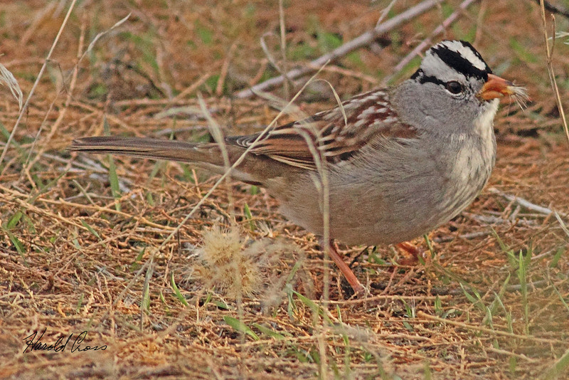 A White-crowned Sparrow taken Dec. 3, 2010 in Fruita, CO.
