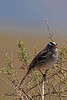 A White-crowned Sparrow taken April 27, 2011 near Fruita, CO.