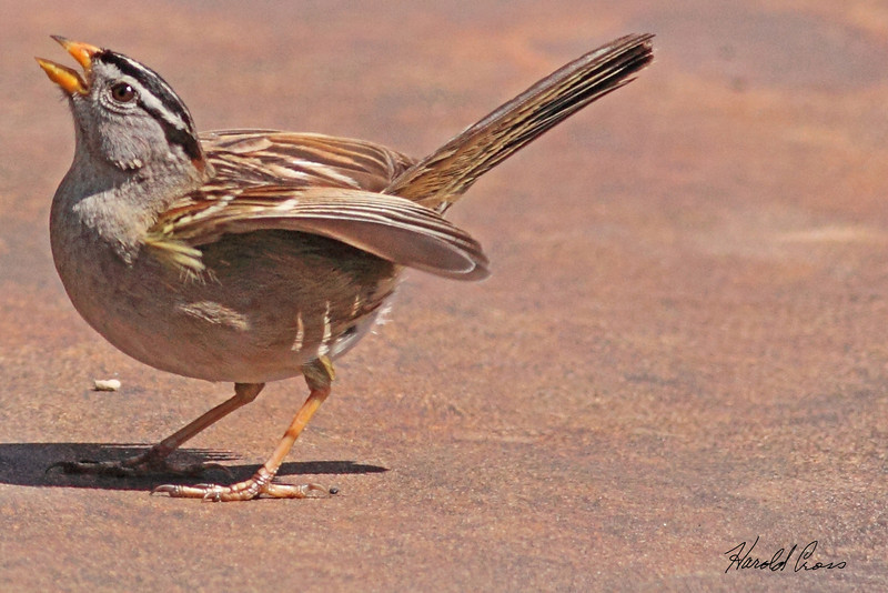 A White-crowned Sparrow taken April 17, 2010 near Fortuna, CA.