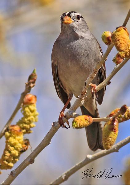 A White-crowned Sparrow taken Feb 5, 2010 in Gilbert, AZ.