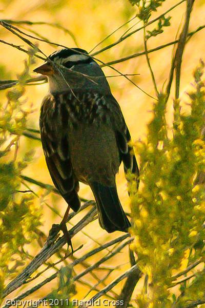 A White-crowned Sparrow taken Oct. 12, 2011 near Fruita, CO.