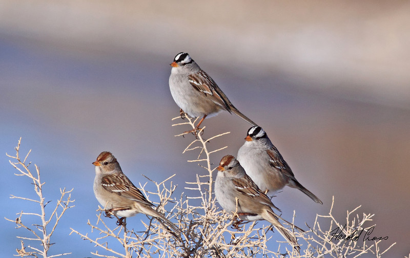 White-crowned sparrows taken in Fruita, CO on 8 Jan 2010.