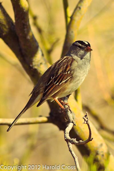 A White-crowned Sparrow taken Feb. 6, 2012 in Tucson, AZ.