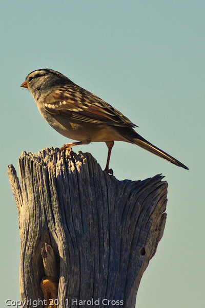 A White-crowned Sparrow taken Oct. 31, 2011 near Muleshoe, TX.