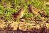 White-crowned Sparrows taken Feb. 8, 2012 in Tucson, AZ.