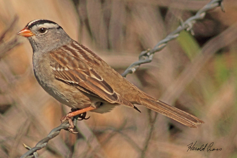 A White-crowned Sparrow taken May 2, 2011 near Fruita, CO.