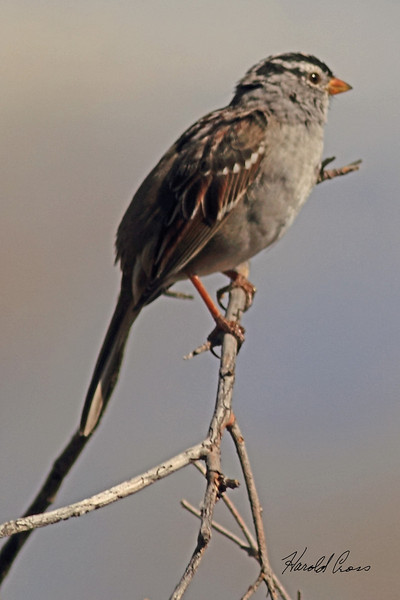 A White-crowned Sparrow taken Apr. 5, 2011 in Grand Junction, CO.