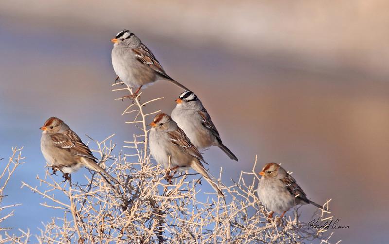 White-crowned Sparrows taken Jan 7, 2010 in Fruita, CO.
