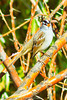 A White-crowned Sparrow taken Oct. 23, 2011 near Eckert, CO.