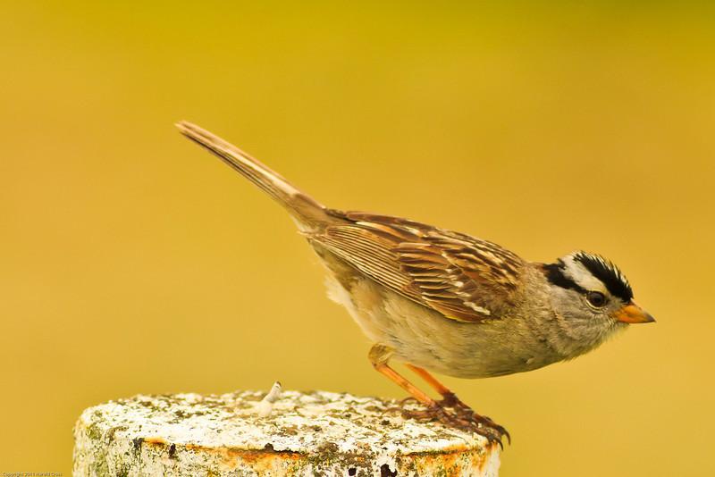 A White-crowned Sparrow taken Jun 11, 2011 near Fortuna, CA.